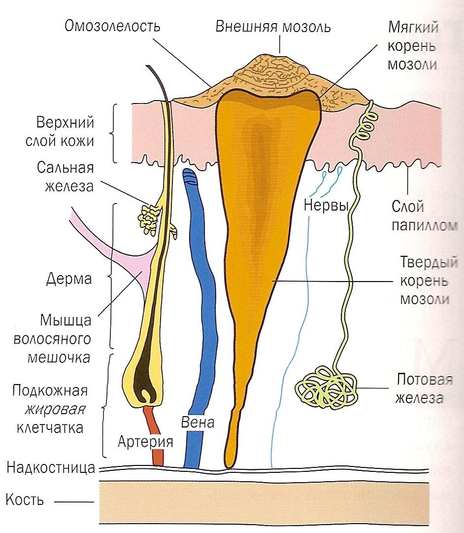 мозоли корень фото